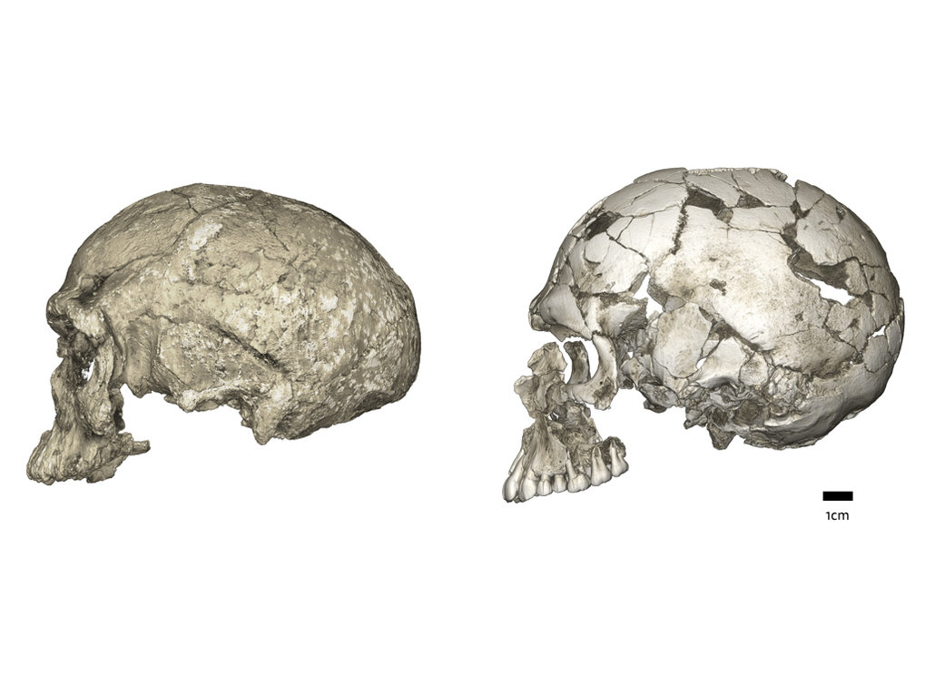 Evolutionary changes of braincase shape from an elongated to a globular shape. The latter evolves within the Homo sapiens lineage via an expansion of the cerebellum and bulging of the parietal. Left: micro-CT scan of Jebel Irhoud 1 (~300 ka, Africa); Right: Qafzeh 9 (~95 ka, the Levant).