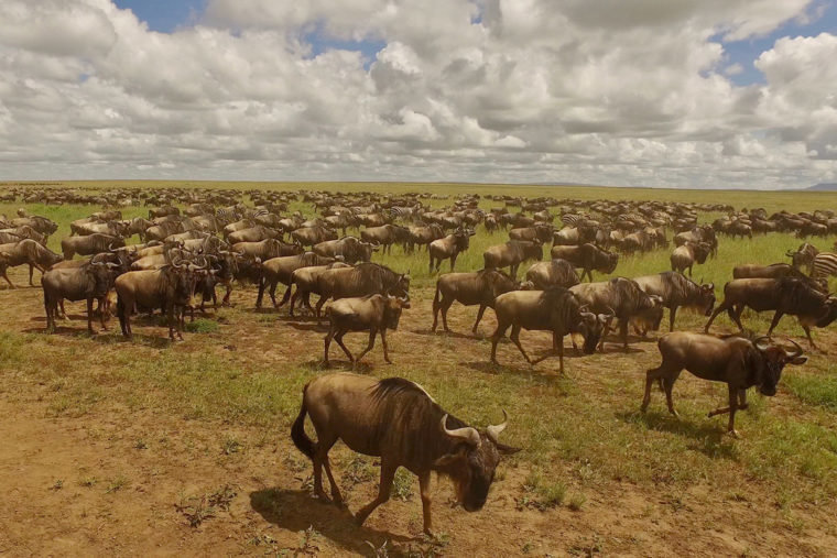 African wildlife, such as these wildebeest crossing the Serengeti, are drawn to the high-nutrient grass that springs up at the sites of ancient livestock corrals.