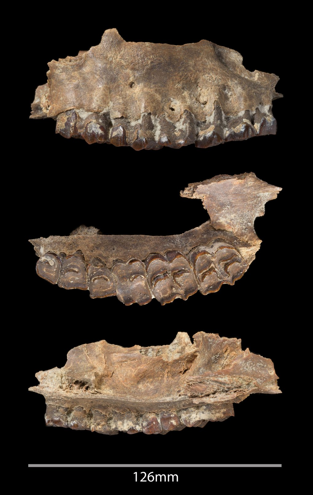Mammal fossil recovered from the Ti's al Ghadah site, Saudi Arabia