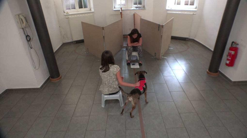 The overall set-up of the experiment, showing the two V-shaped fences, the experimenter who places the reward, the experimenter holding the dog, and the dog in starting position, without a curtain to block the view. This dog was participating in the third variation, with a time delay.