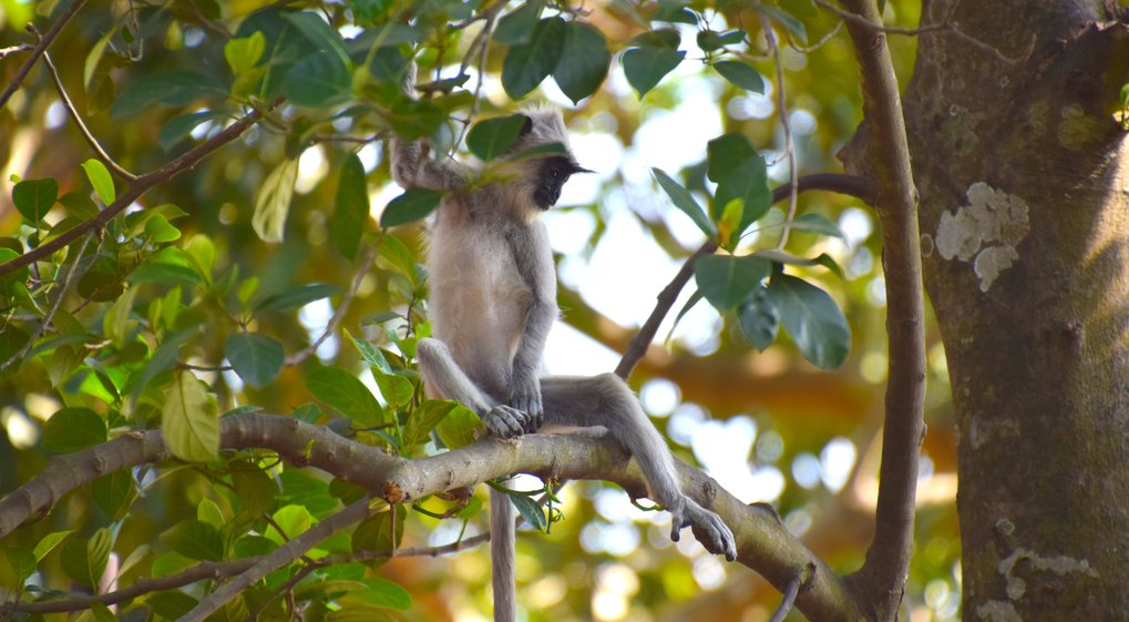 Gray tufted langur (S. priam), one of the monkey species targeted by early humans that settled in Fa Hien Cave, Sri Lanka.