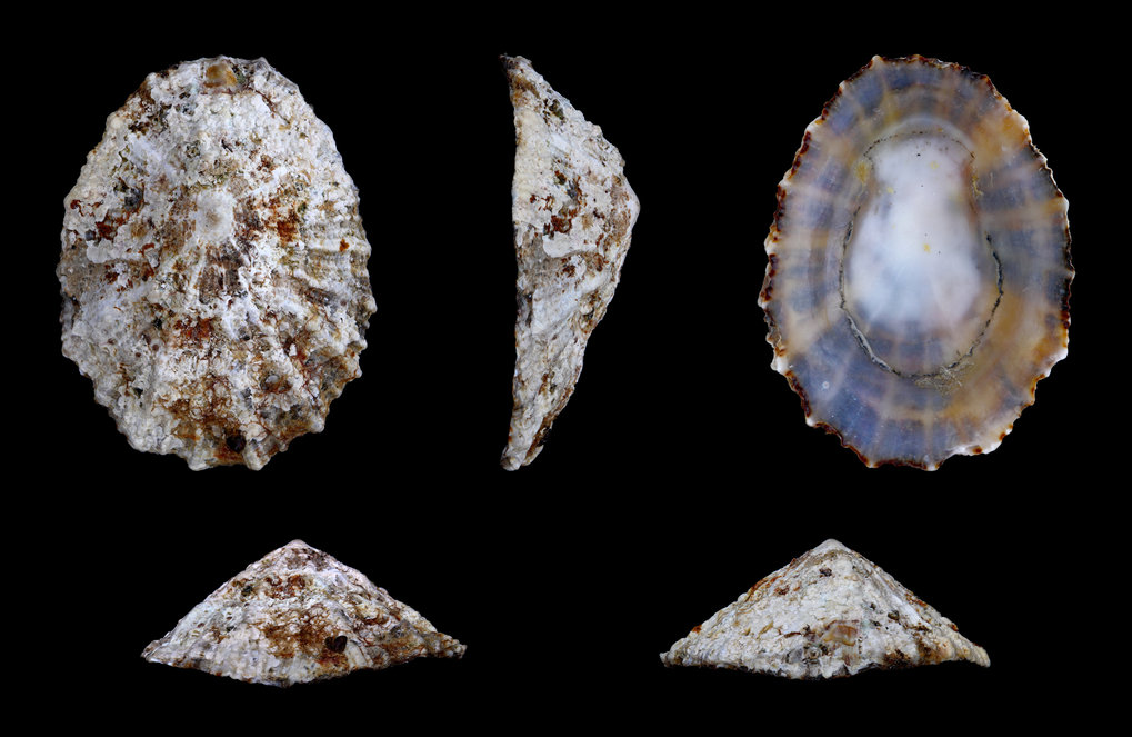 Multiple views of an example of a Rayed Mediterranean Limpet, Patella caerulea, the species of mollusc examined in the current study.