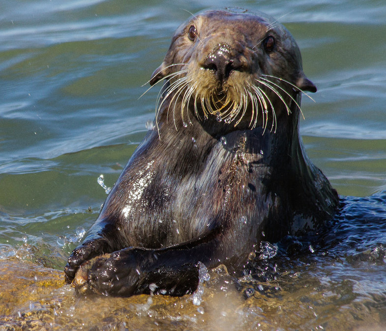 Researchers used an interdisciplinary approach combining ecology and archaeological methods to study sea otters' past behavior.