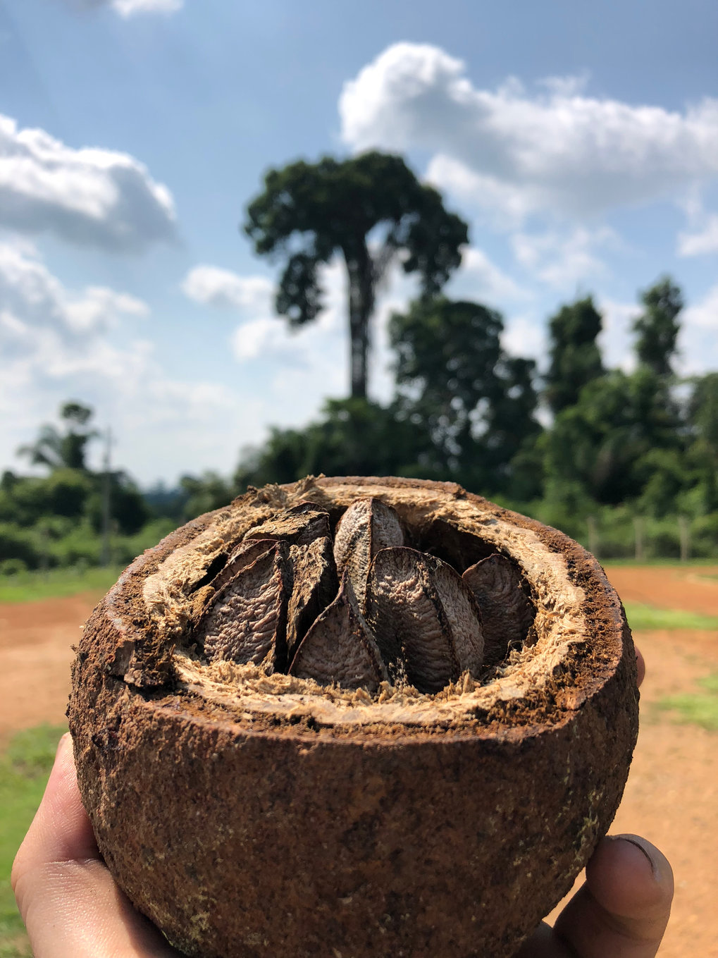 Brazil nut fruit and tree in the background.