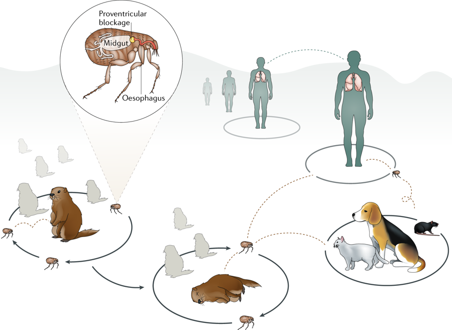 A simplified version of the Yersinia pestis enzootic cycle, during which the bacterium is maintained among wild rodent populations through a flea-dependent transmission mechanism.
