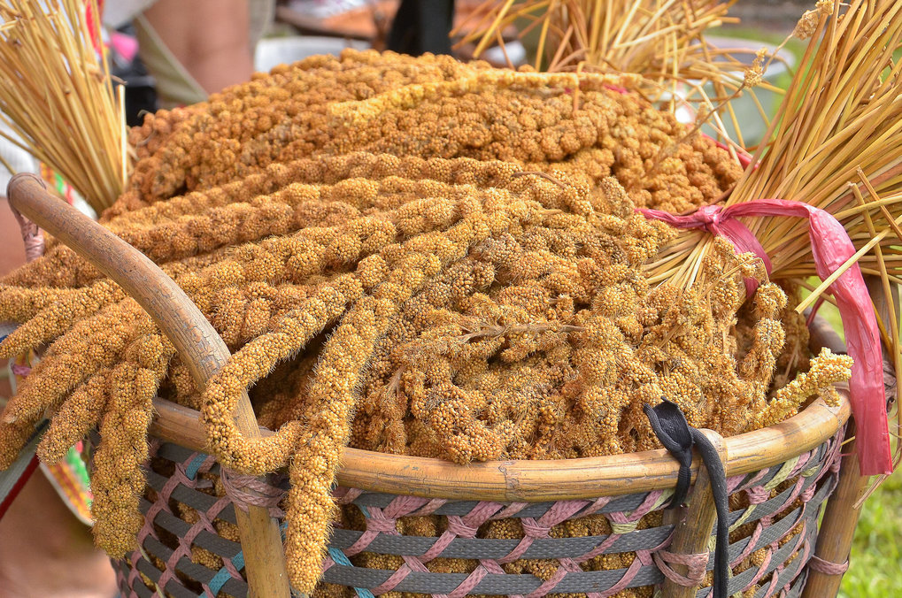 A basketful of harvested ears of foxtail millet (Setaria italica).