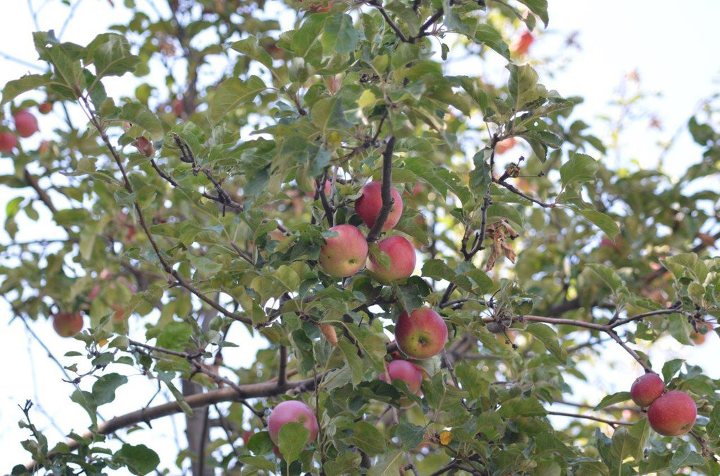 Apples originally evolved in the wild to entice ancient megafauna to disperse their seeds. More recently, humans began spreading the trees along the Silk Road with other familiar crops. Dispersing the apple trees led to their domestication.