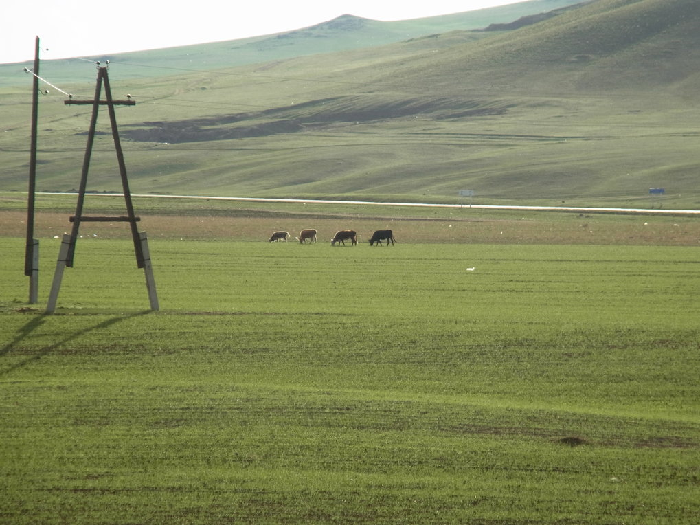 Livestock feeding on agricultural fields in northern Mongolia, Khovsgol Aimag.