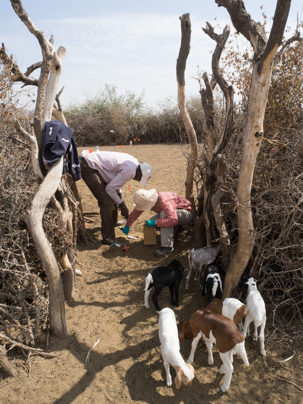 Dung sampling for faecal biomarker analyses from an inhabited Maasai Boma (a settlement consisting of a number of people, livestock and dwellings)