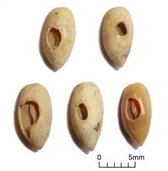 Shell beads from the Iron Age levels at Kuumbi Cave;<br /><br />