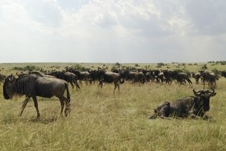 As pastoralism spread through East Africa, herders and their livestock encountered new wildlife species and new diseases. Epizootiological challenges likely had significant consequences for both the trajectory of pastoral expansion and wildlife biogeographies. This project uses stable isotope analysis of ancient wildebeest teeth to examine the role of pastoralism in the disappearance of wildebeest from Central Rift Valley grasslands.