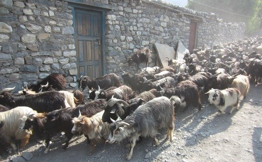 Goats are an important source of milk, meat, and fiber in marginal environments. After a full day of grazing, a local herder drives his goats into the walled city of Lo Manthang in Upper Mustang, Nepal.