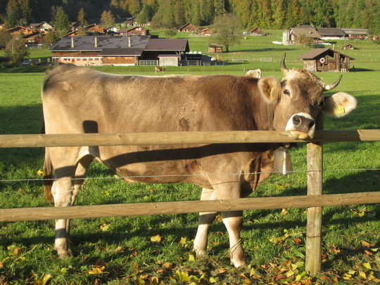 Cattle dairying shaped the evolution of the human lactase gene in Europe.