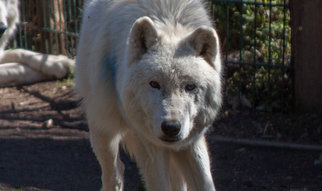 Scientists at the MPI-SHH and MPI-EVAN compare the cooperation behavior of wolves and dogs