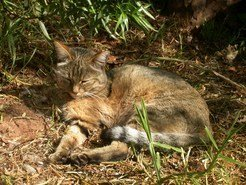 African Wildcat (<em>F. s. lybica</em>) at the Johannesburg Zoo, South Africa.