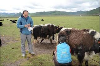 Yak exploitation is an important human adaption strategy on the Qinghai-Tibetan Plateau. However, yak bones have rarely been found in ancient sites. Thus, the analysis of lipid absorbed in pottery would be the main way to determine the yak dairy products used by ancient people. When and where the domestic swamp buffalo is the difficulty of differentiating morphologically the bones of extinct <em>Bubalus Mephistopheles</em> and swamp buffalo. Since Southern China is not favorable to the preservation of ancient DNA, ZooMS could have the potential to identify  domestic buffalo bones.