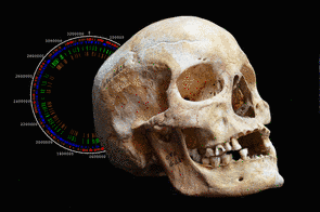 <p><strong>Skull of Jorgen 625, side view with a genome assembly of the ancient strain of M. leprae.</strong></p>