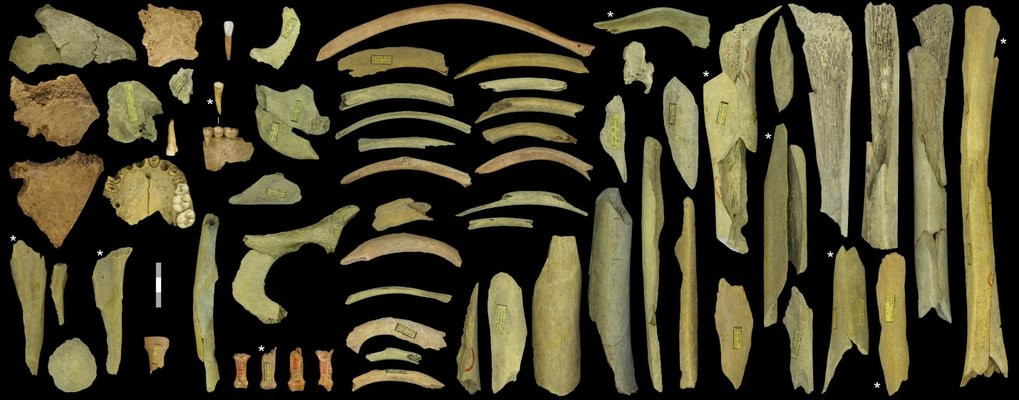 The highly fragmented Neandertal assemblage from the Troisième caverne of Goyet represents at least five individuals. Those with an asterisk were directly dated to 40,500–45,500 years ago. Scale = 3 cm.