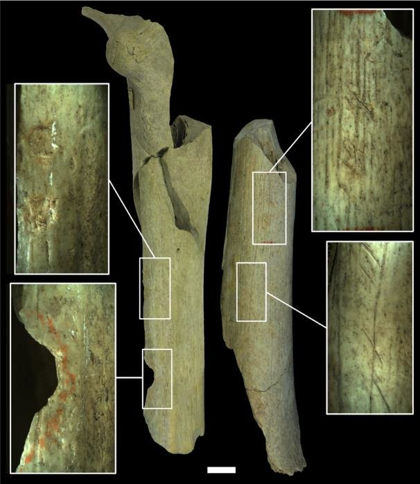 The different categories of anthropogenic modifications present on the Goyet Neandertal bones. Femur I (left) shows percussion pits and a percussion notch and femur III (right) shows cutmarks testifying to the processing of the remains for butchery activities. Femur III also shows retouching marks left from its use to retouch the edges of stone tools. Scale = 1 cm.
