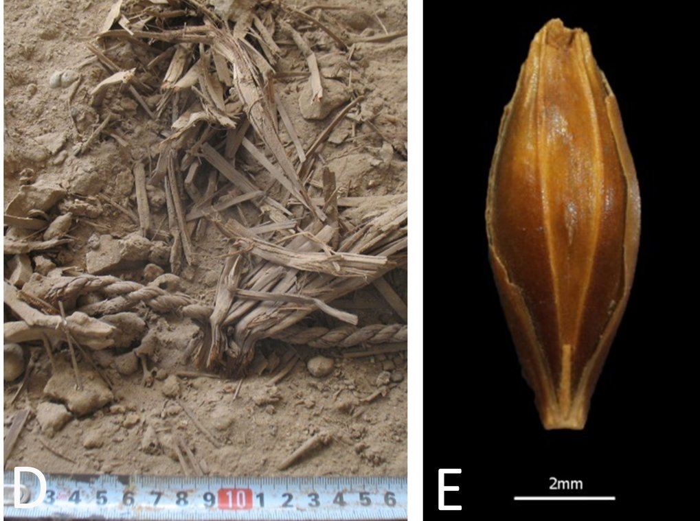 <p>Photograph during excavation – note the excellent dry preservation of plant remains | Left: Photograph of a well-preserved, desiccated barley grain found at Yoram Cave</p>