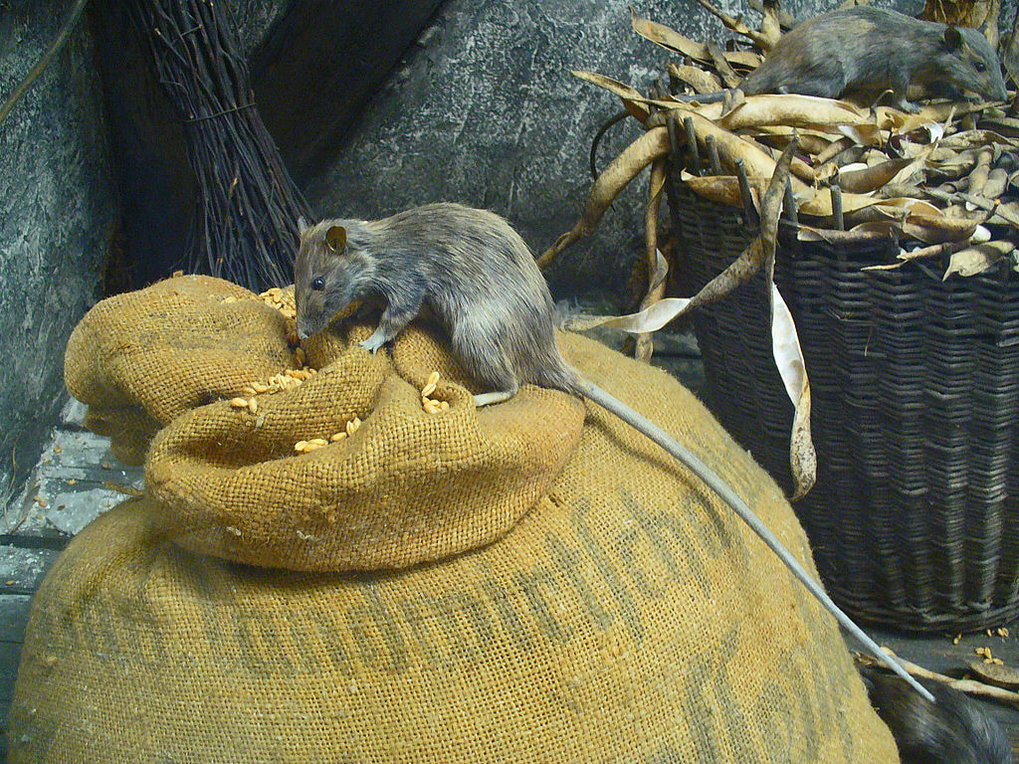 "The black rat, or ""ship rat"" (Rattus rattus), has found an advantage in sharing housing, food, and transportation with human societies over the past several millennia."