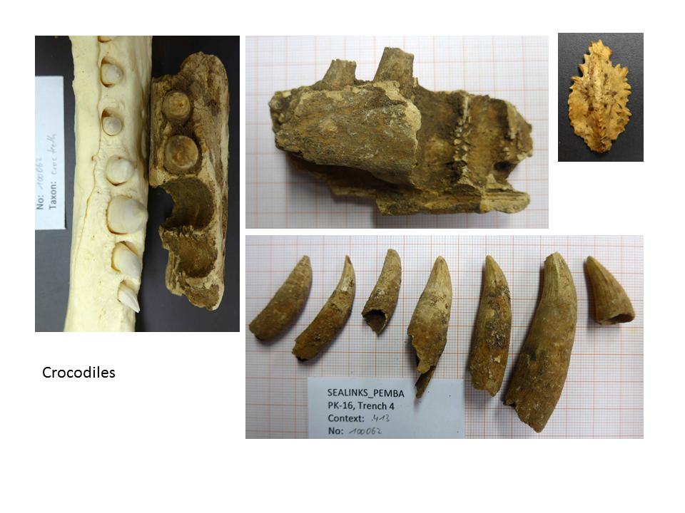 Elements from a now extinct or extirpated crocodile species excavated from the Makangale Cave site (Pango la Kijiji Makangale) in 2016