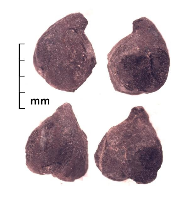 Four views of a Chickpea (Cicer arietinum) from the ancient Silk Road urban center of Tashbulak (ca. A.D. 1100), in the mountains of Uzbekistan. Archaeobotanical studies at Tashbulak were led by Robert Spengler and excavations were directed by Farhad Maqsud and Michael Frachetti.