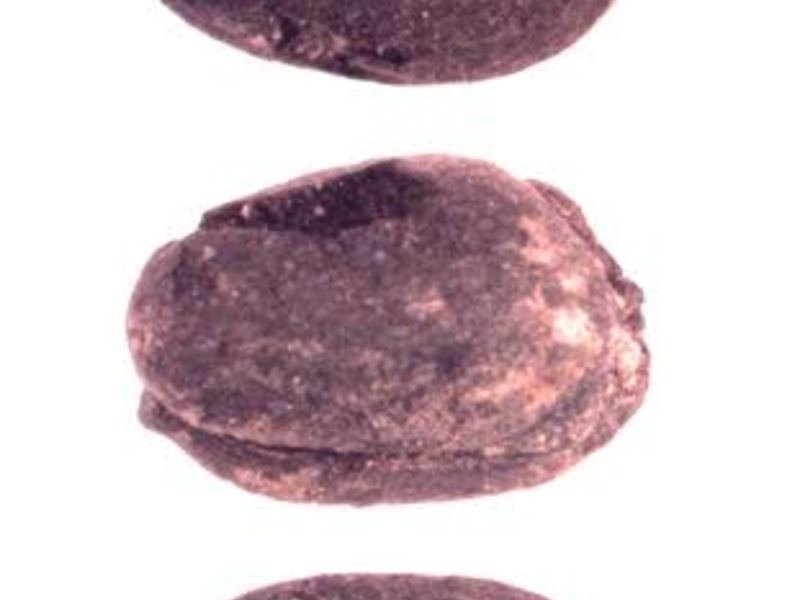 Three views of a free-threshing wheat (<em>Triticum aestivum</em>) grain from the late first millennium B.C. settlement of Tuzusai in southern Kazakhstan. Archaeobotanical studies at Tuzusai were led by Robert Spengler and excavations were directed by Claudia Chang.