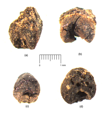 Four broomcorn millet grains from the earliest layers at the Begash site in eastern Kazakhstan dating to roughly 2200 cal B.C., image published in Frachetti et al. (2010) Antiquity 84:993-1010.