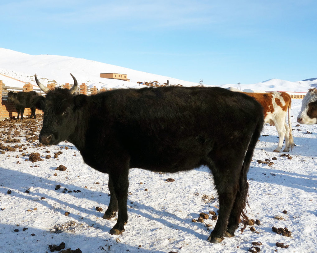 Dairy cattle in Mongolia. Ruminant dairying has long been an important component of central Asian subsistence.