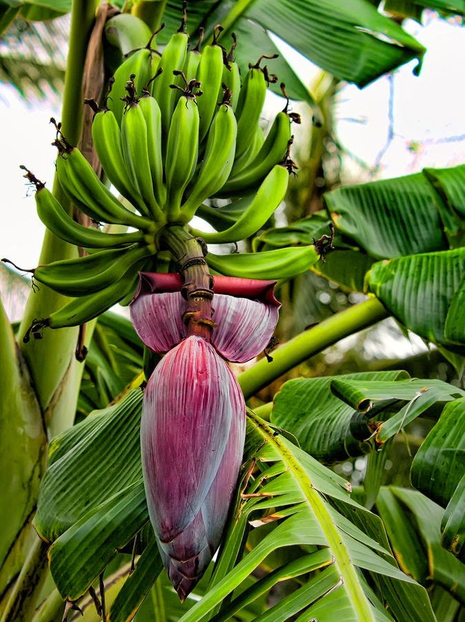 A banana flower: Banana is major source of nutrition in the tropics but its history is poorly known.