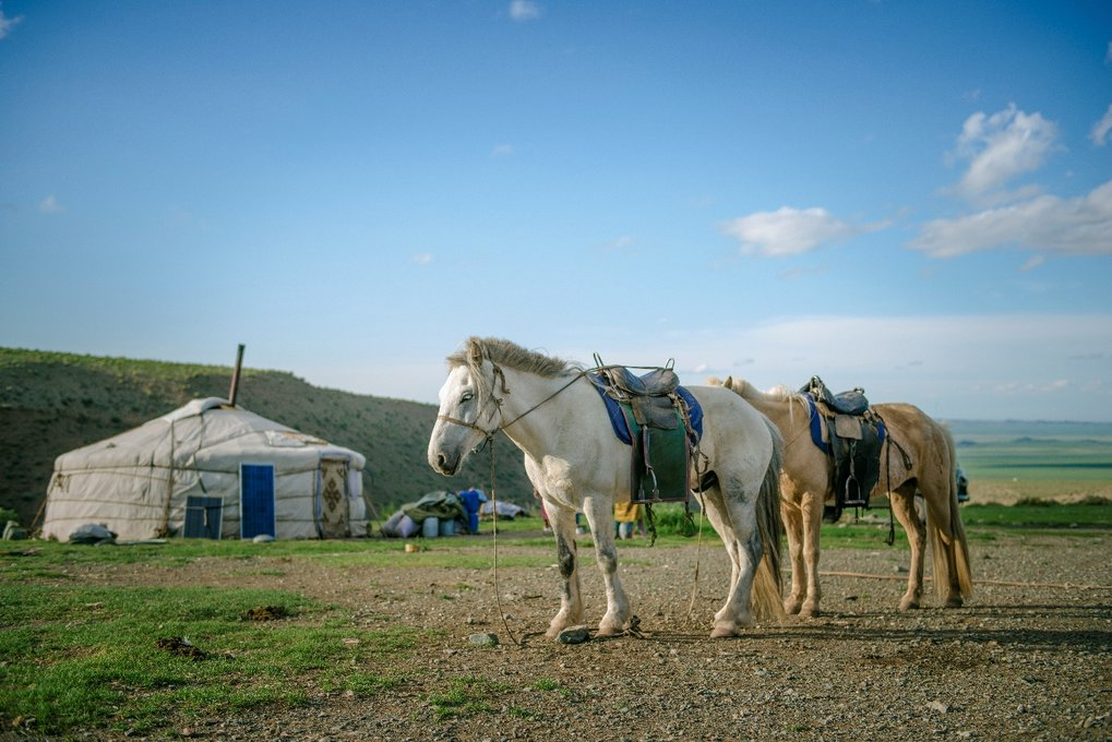 Domestic horses form the center of nomadic life in contemporary Mongolia