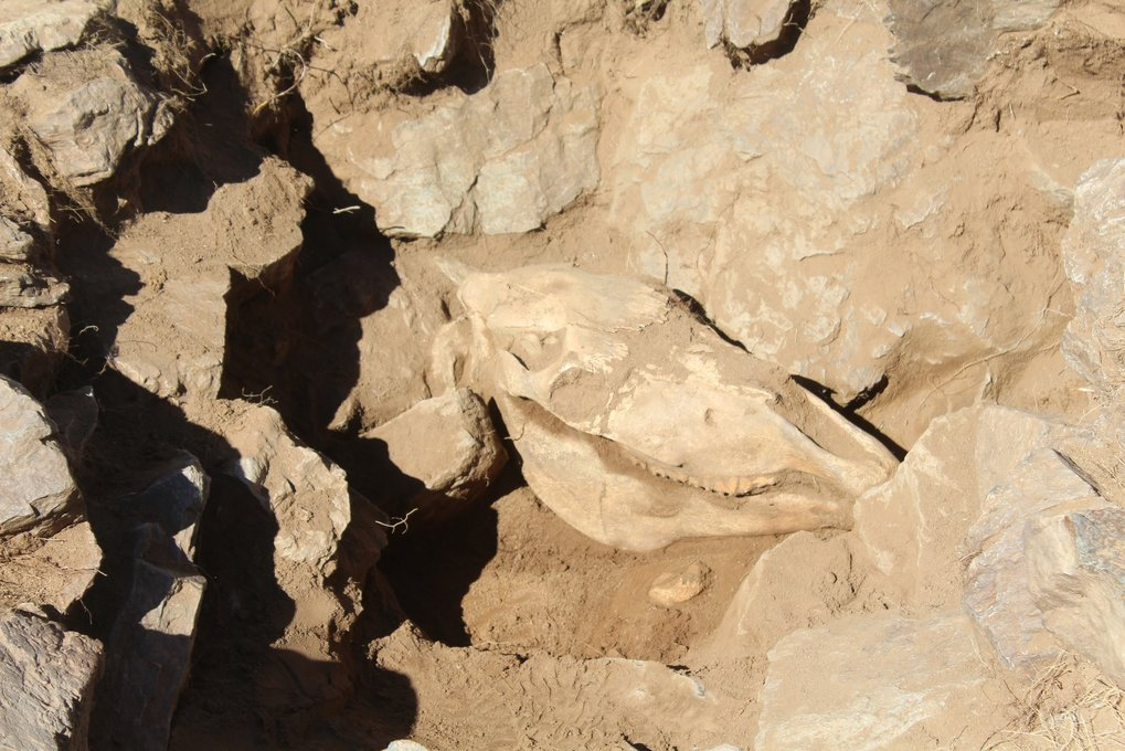 Figure 3. Domestic horse head burial from Mongolia's Deer Stone-<em>Khirigsuur </em>complex, used in the study.