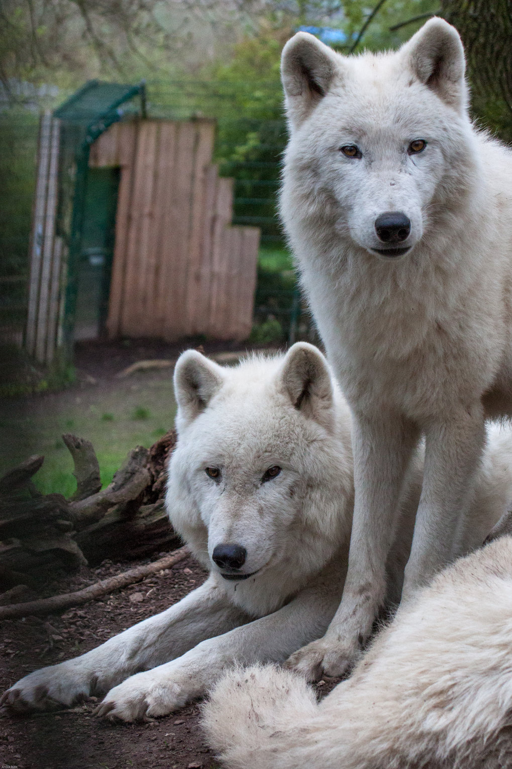 The alpha pair of the Arctic wolf pack at the Wildlife Park Petersberg.