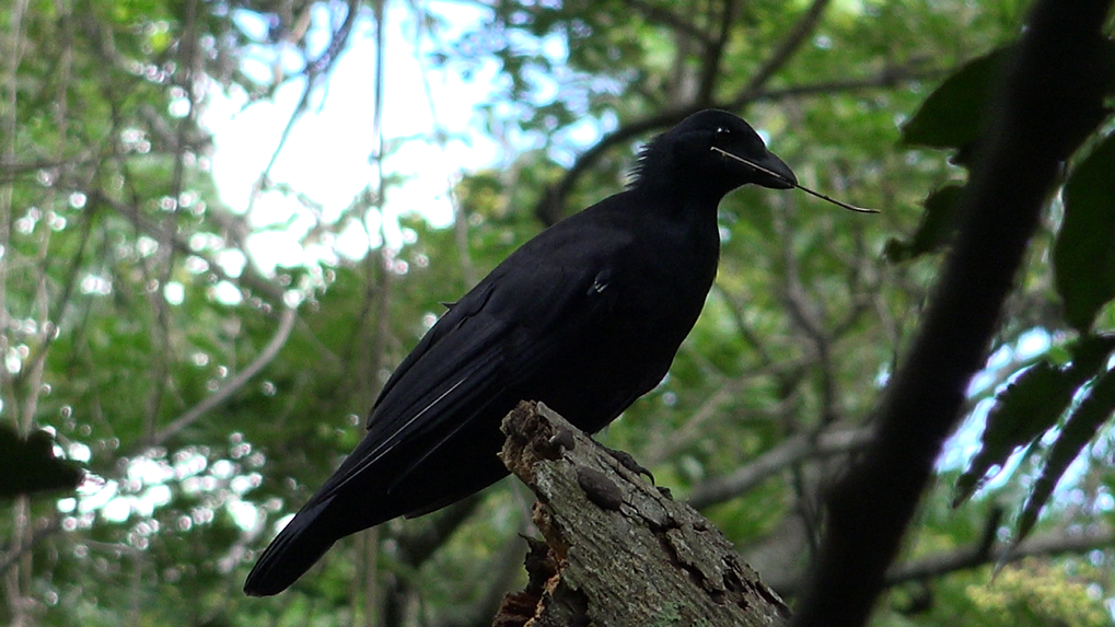 New Caledonian crow with tool.