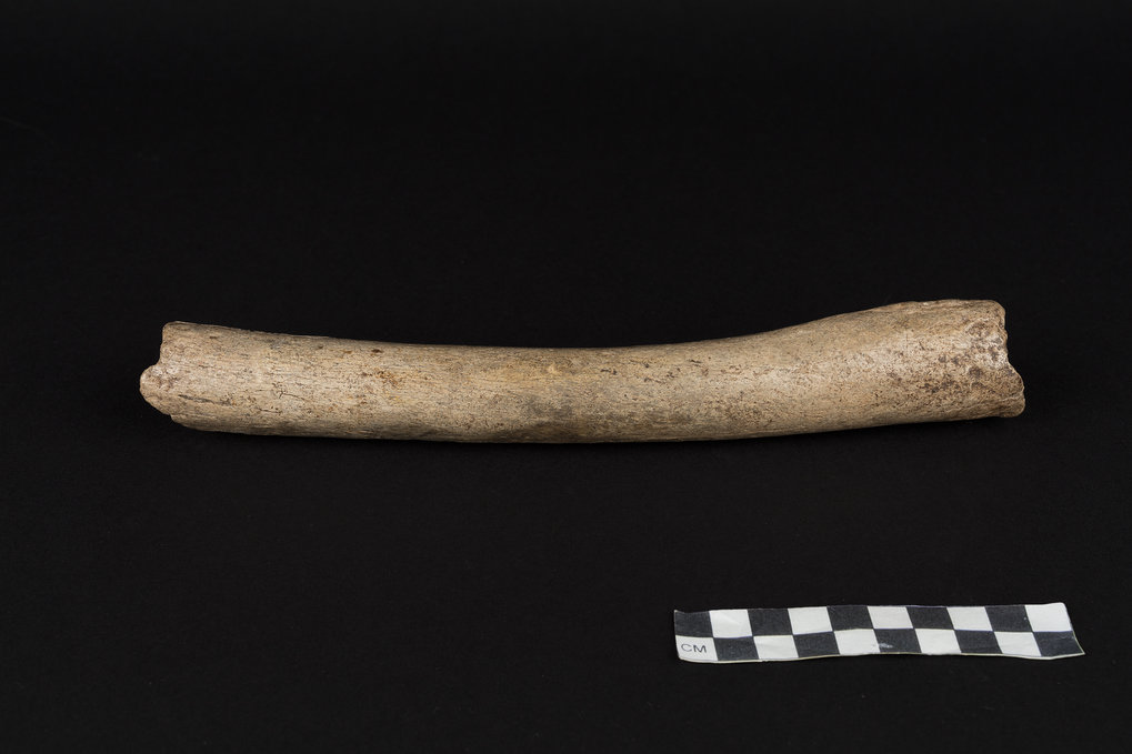 124,000 years old femur of a Neanderthal excavated from the Hohlenstein-Stadel Cave in southwestern Germany.