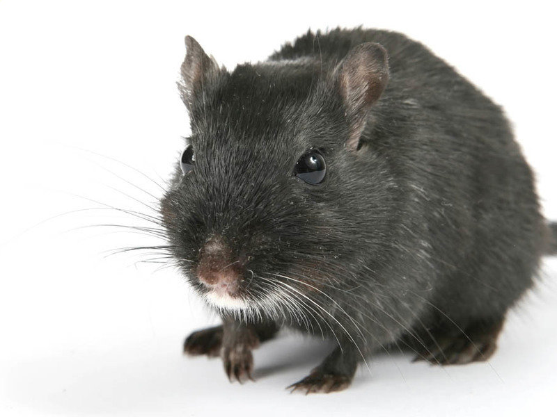 Black rats first arrived in eastern Africa from Asia in the 7th-8th centuries AD. They likely came as stowaways on trade ships from other parts of the Indian Ocean.