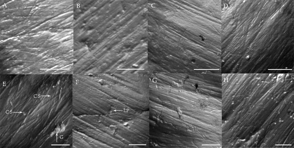 Dental microwear signatures on deer (<em>Axis</em> sp., A-H) and wild cattle (<em>Bos javanicus</em>, E-H) molars (35x magnification). A strictly grazing diet is characterized by uniform scratches (C-D, G-H) whereas a browsing and/or mixed diet is characterized by the presence of numerous pits and gouges (A-B, E-F).