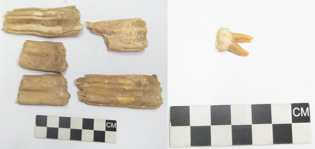 Horse and human teeth collected for analysis.
