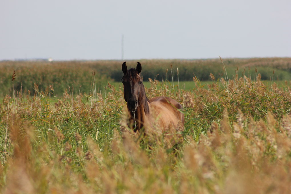 A horse grazing in a marsh in the Lisakovsk study area.
