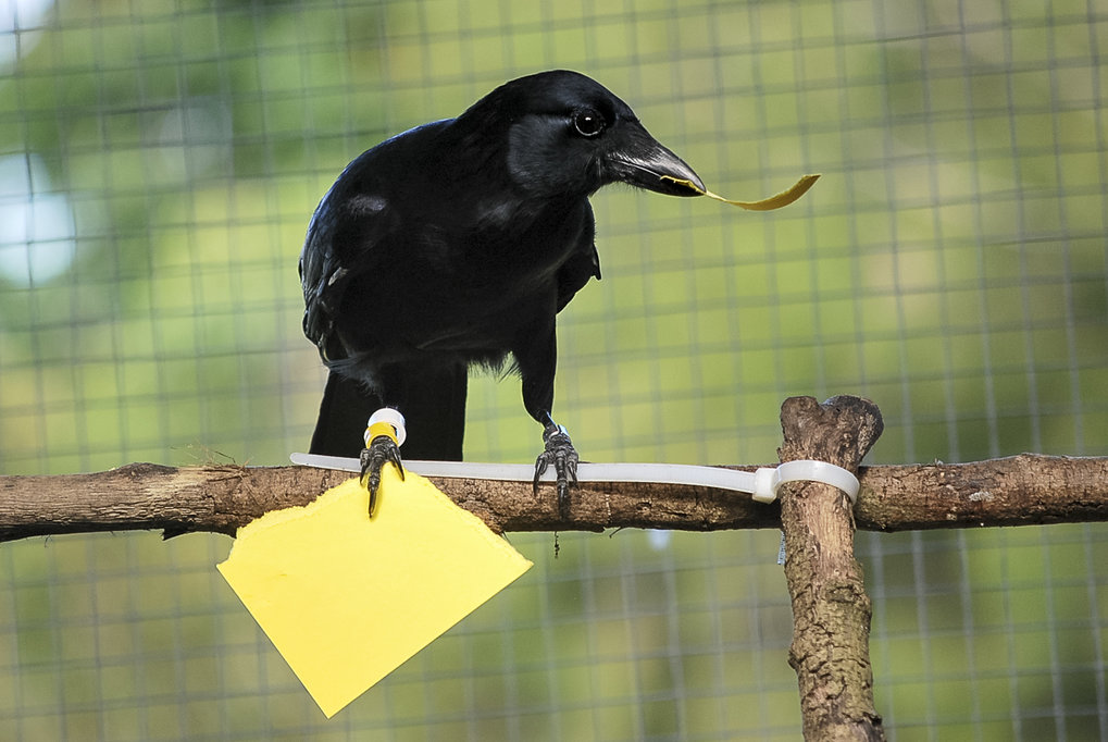 New Caledonian crows can recreate tools from memory according to a study published today in Scientific Reports. Mental template matching is a potential cultural transmission...(Scientific Reports - open access)  Mental Template Matching in New Caledonian Crows  (YouTube-Video)  Crows Learn More About Toolmaking (New York Times, June 28)  Crow vending machine skills 'redefine intelligence' (BBC, June 29)