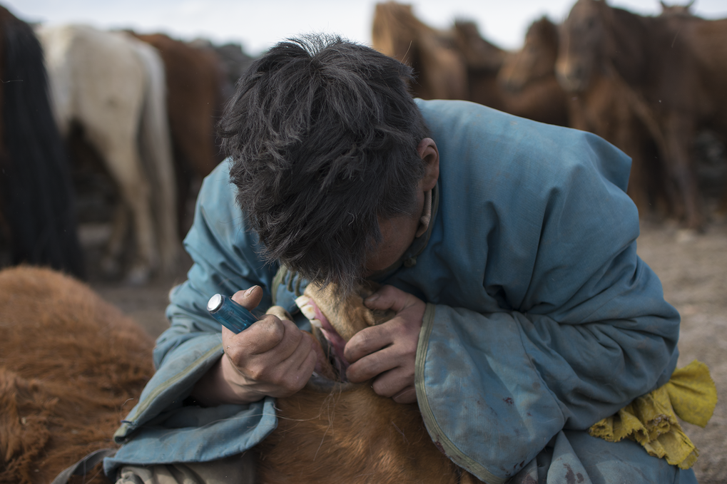 "Mongolian herder removing first premolar, or ""wolf tooth"", from a young horse during the spring roundup using a screwdriver."